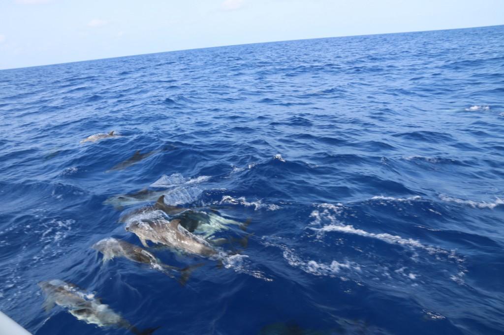 Delfine begleiten Alytes zwischen Cadiz und La Graciosa