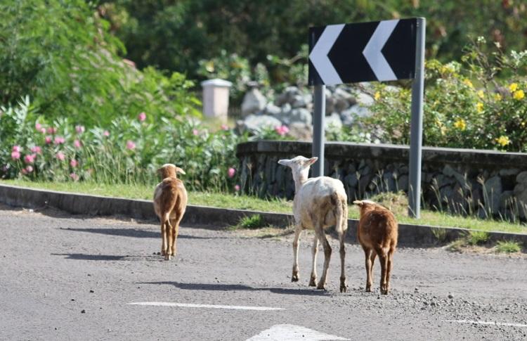 Ziegen, Kühe, Schweine, Schafe. Die größte Wildtierherde auf den Antillen gibt es in Montserrat