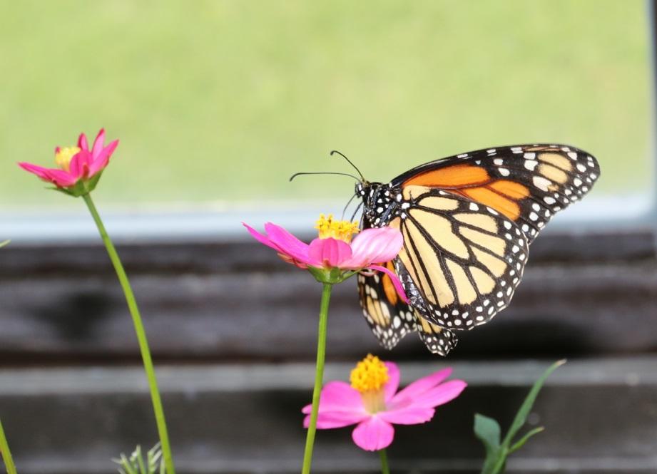 Monarch bei der Eiablage