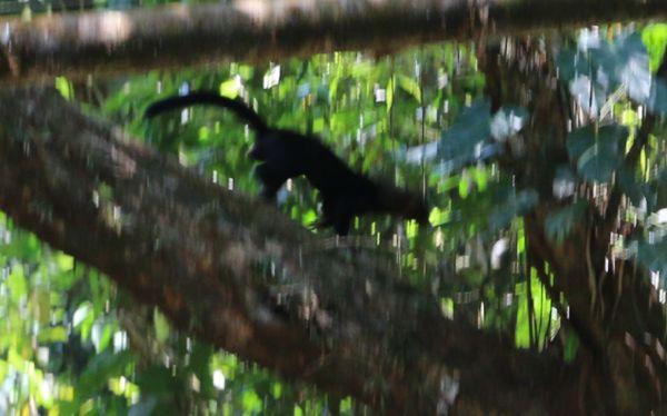 Ein Black Weasel. Zum Glück. Denn wir dachten zunächst, es sei ein Panther