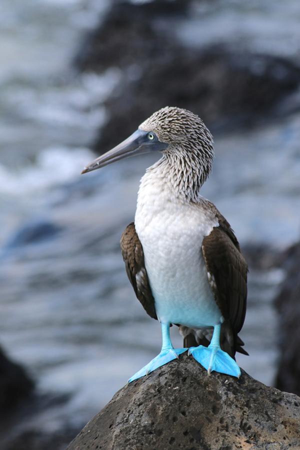 Blaufuß-Tölpel