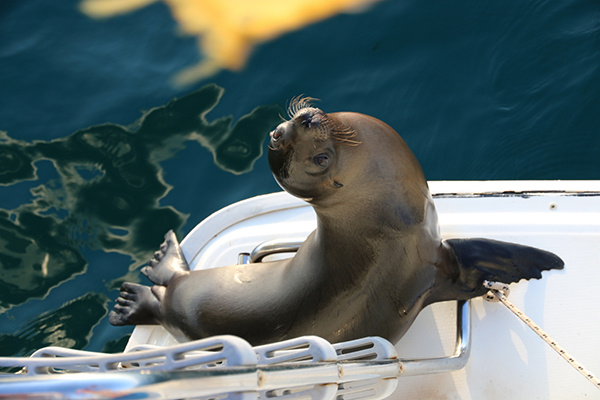 Seelöwenbesuch auf unserer Stufe