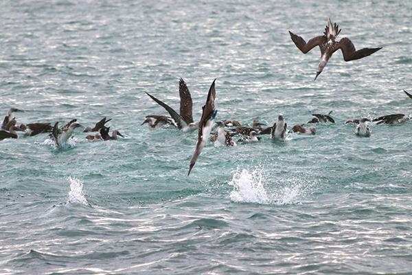 Blaufuß-Tölpel bei der Jagd