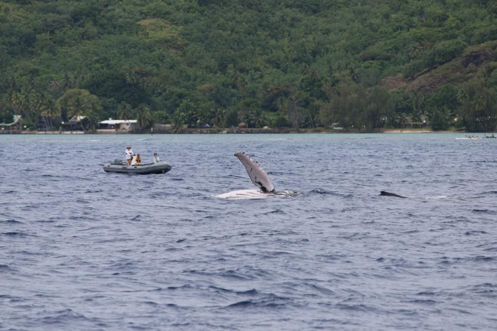 Vor Mo'orea grüßt uns ein erster Wal