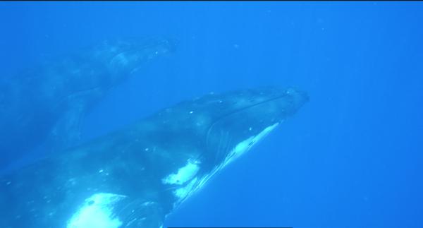 Zwei ausgewachsene Buckelwale tauchen auf, um sich gleich wieder in den Sand zu legen. The simple life,,,
