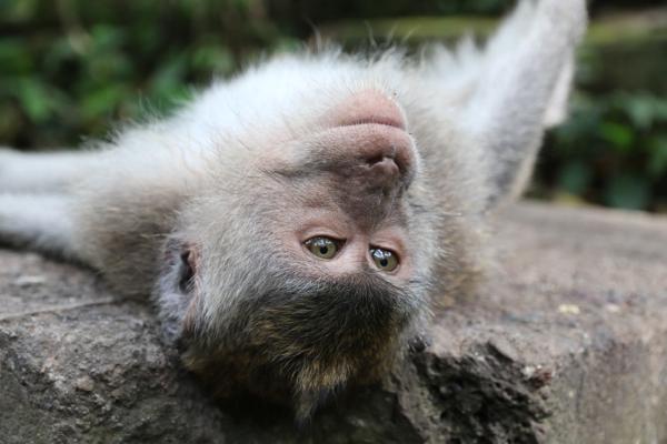 Einfach mal abhängen im Holy Monkey Forrest von Ubud