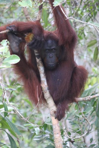 Unser erster wilder Orang-Utan. In der Hand eine Frucht der Pandanus.